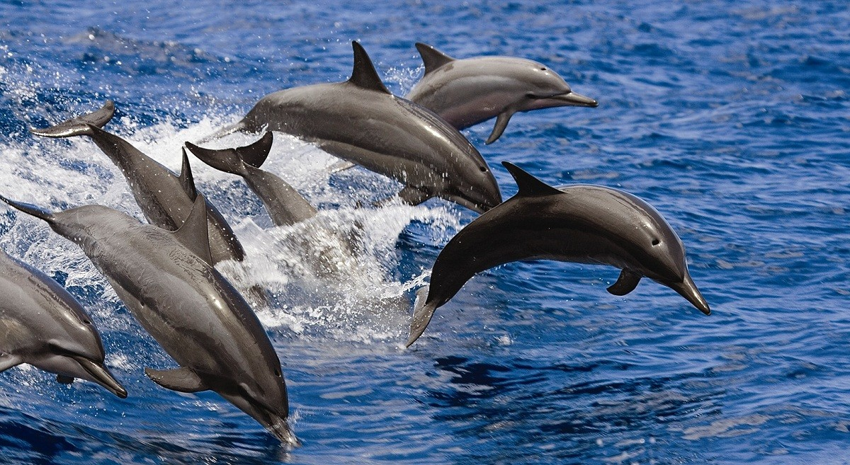"""C""""Red Sea"""". The second largest colonies of dolphins in the world"""