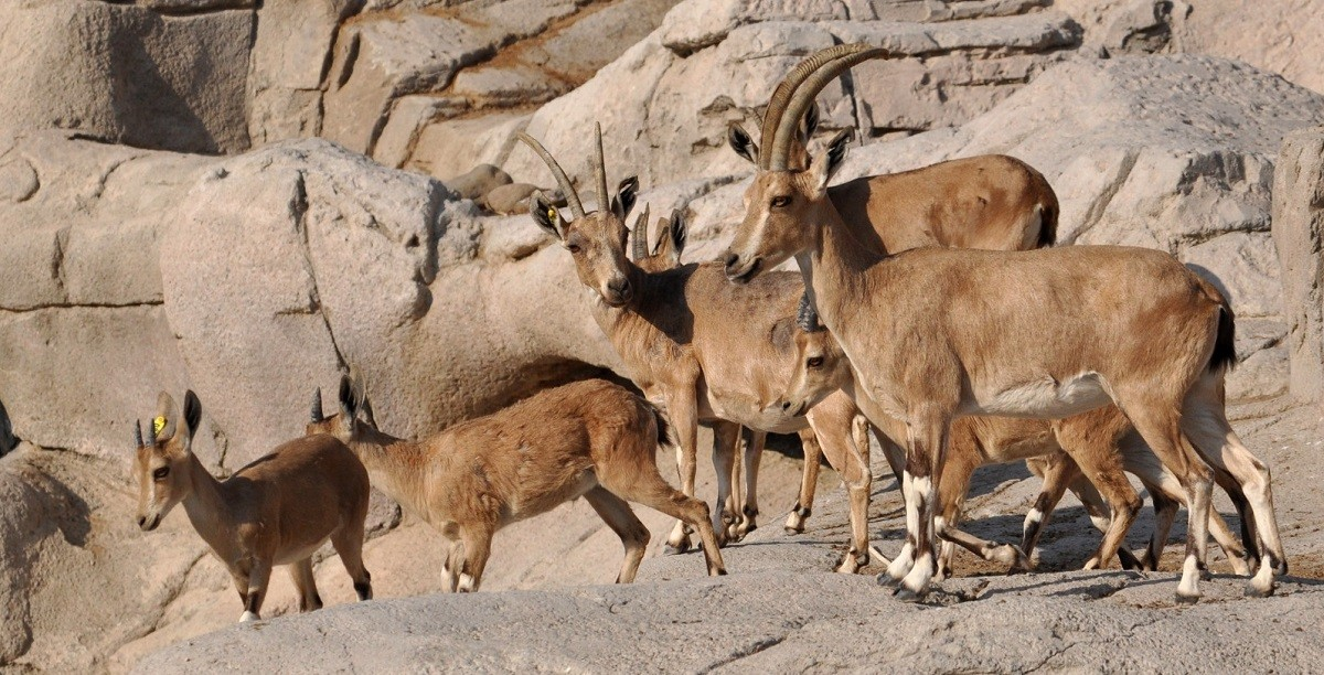 "C""The Nubian Ibex"". King of rugged mountains"