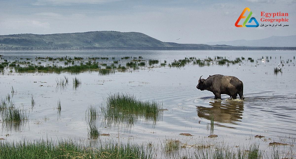 Cبحيرة ناكورو الكينية.. موطن 13 نوعًا من الطيور المهددة بالإنقراض