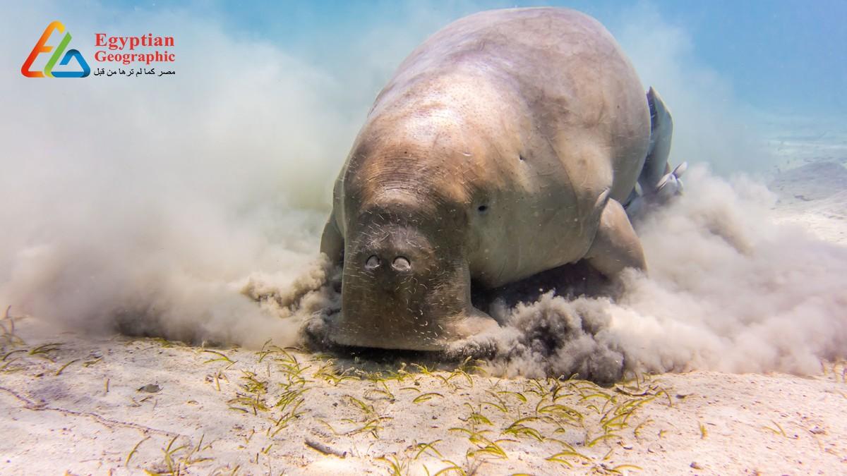 Cالدوجونج.. أفيال البحر الأحمر المهددة بالإنقراض