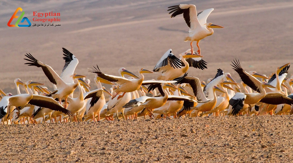 CThe Egyptian coast is that the largest migratory bird catches within the world.