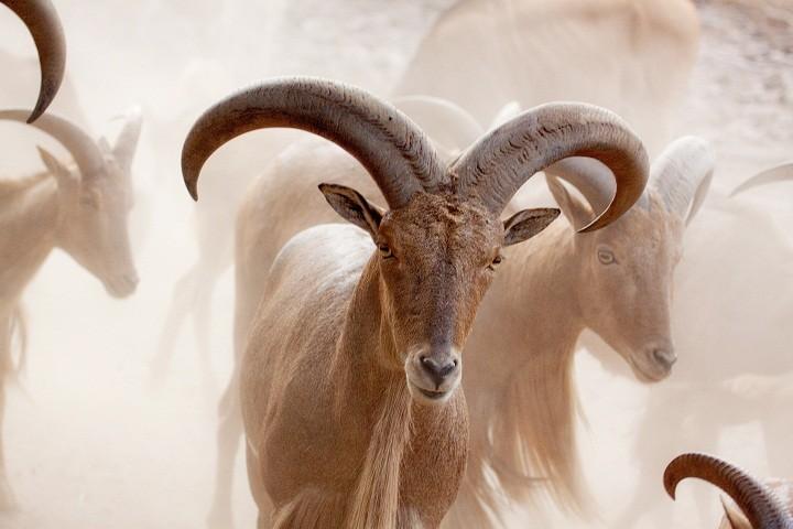 حماية الأغنام البرية في تونس