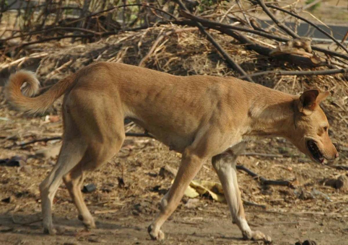 كلاب الدينجو البرية