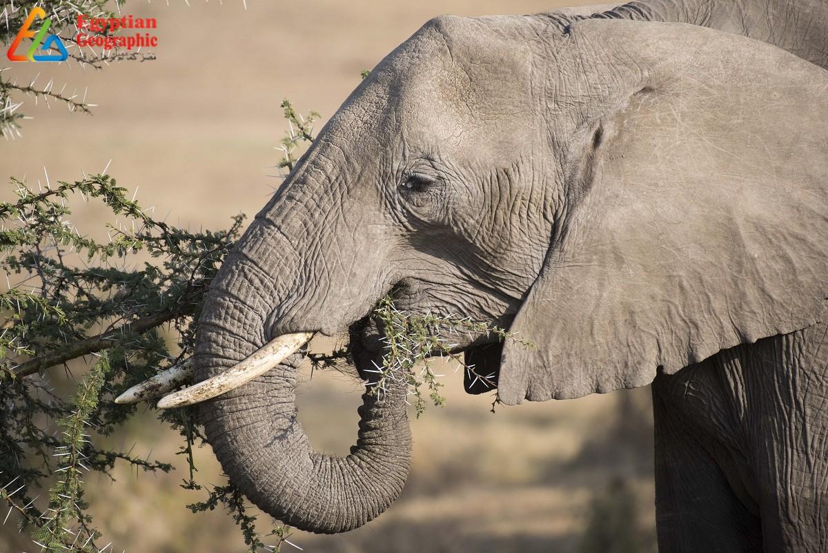 الأفيال لا تُصاب بالسرطان