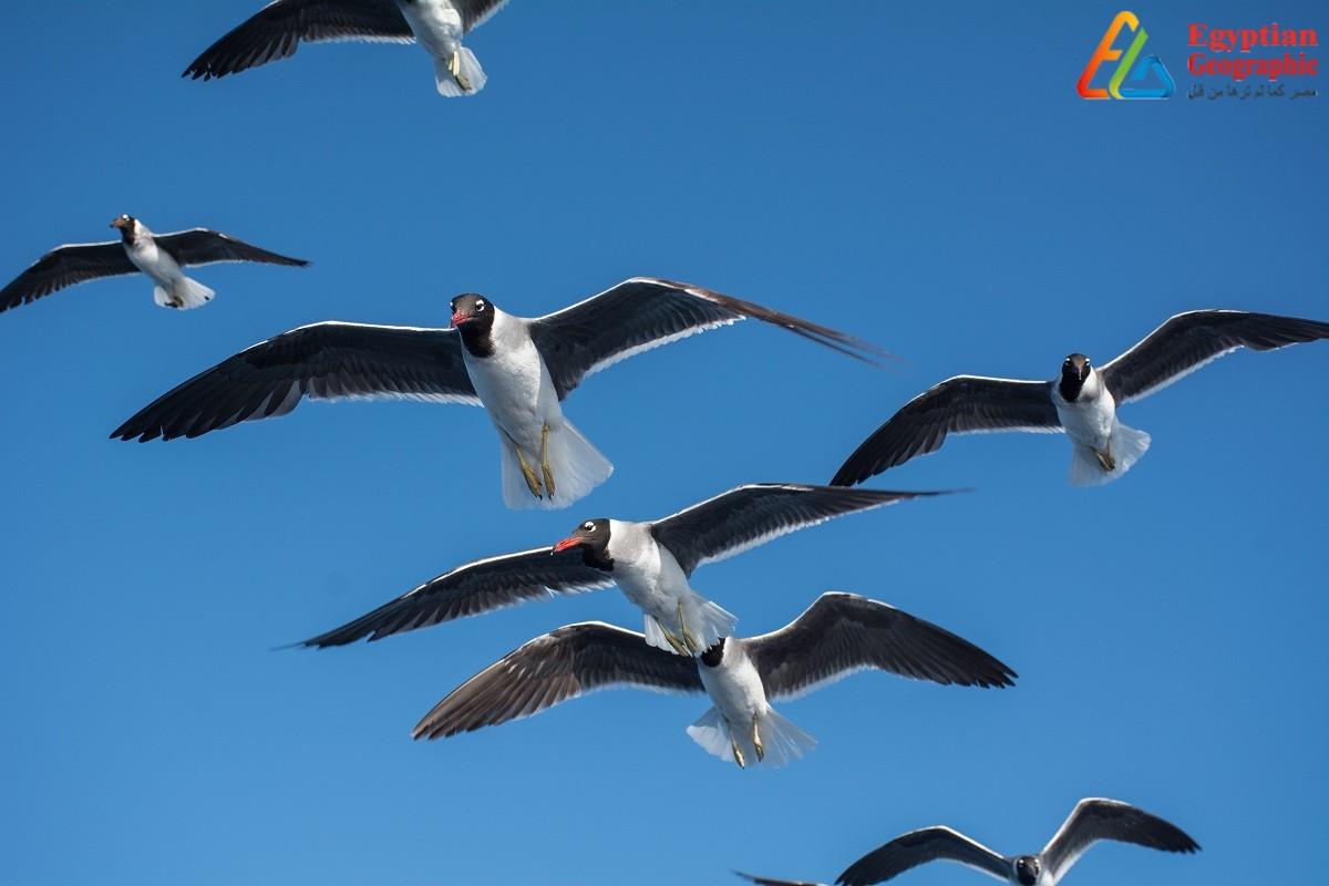الطيور المهاجرة في مصر