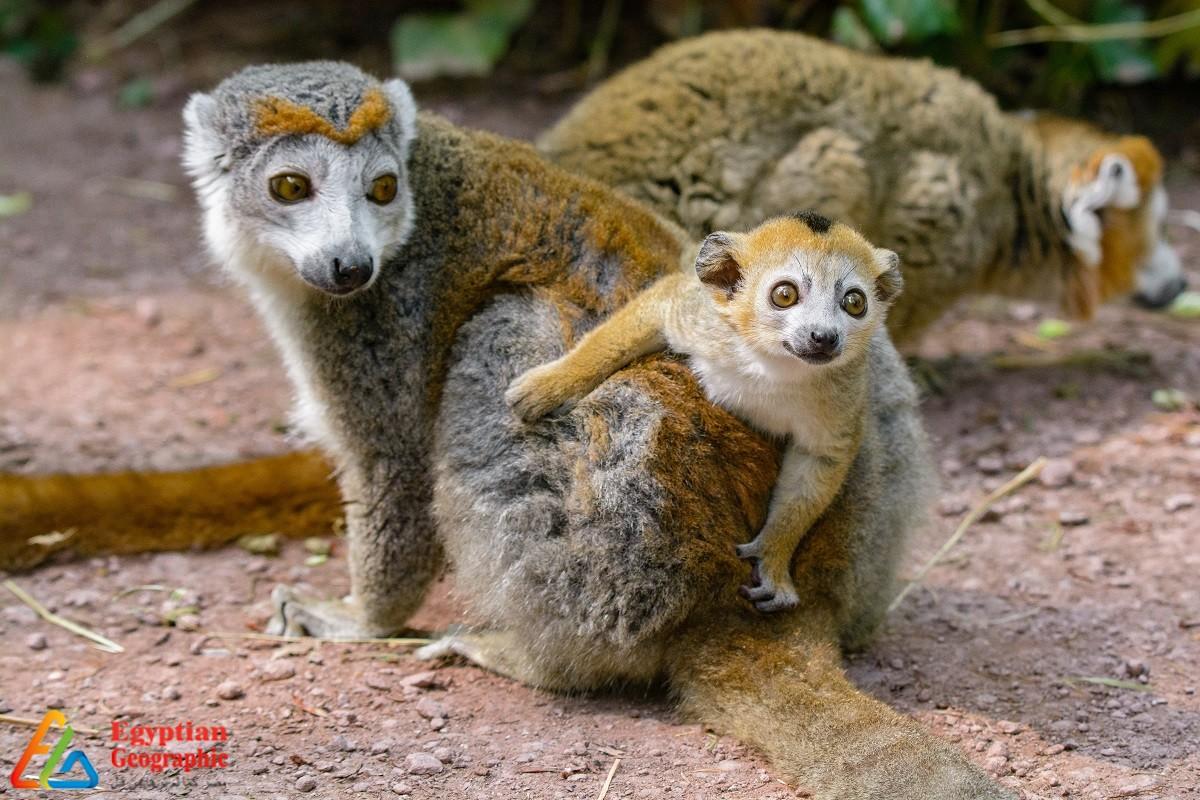 الليمور الأفريقي.. أشباح جزيرة مدغشقر