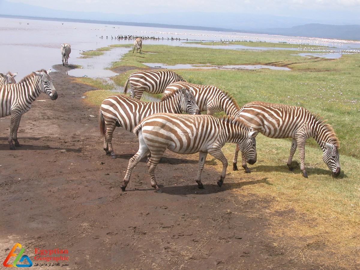 بحيرة ناكورو الضحلة