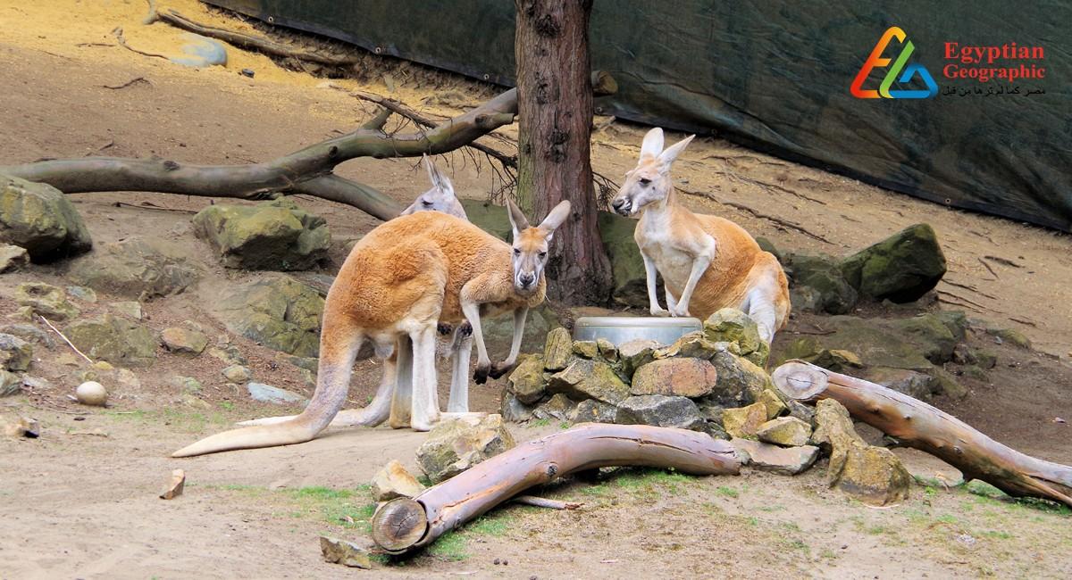 الكنغر الأحمر في إحدي المتنزهات الاسترالية
